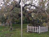 日本最古のりんごの樹「マザーツリー」青森県つがる市